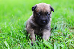 Puppies in field. Young puppies belgian shepherd malinois in field Stock Photography