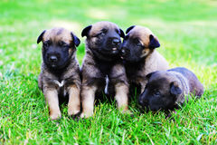 Puppies in field. Young puppies belgian shepherd malinois in field Royalty Free Stock Photo