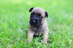 Puppies in field. Young puppies belgian shepherd malinois in field Royalty Free Stock Photos