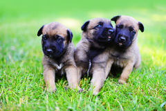 Puppies in field. Young puppies belgian shepherd malinois in field Royalty Free Stock Images