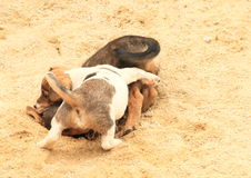 Puppies fighting on sandpit Stock Images