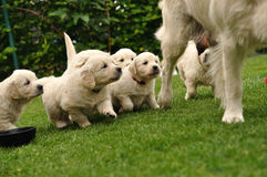 Puppies flocking after their mother Royalty Free Stock Photos