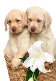 Puppies with a flower. Royalty Free Stock Photo
