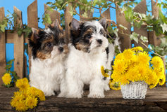 Puppies and flowers dandelions Royalty Free Stock Photography