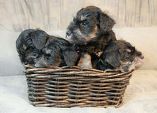 Puppies Royalty Free Stock Photo