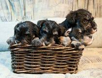 Puppies Royalty Free Stock Photos