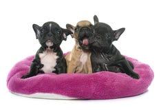 Puppies french bulldog stock photos