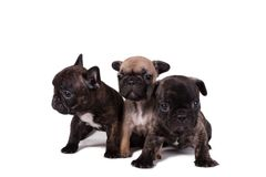 Puppies French bulldog Royalty Free Stock Photography