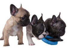 Puppies French bulldog Stock Photography