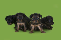 Puppies frolic on the green isolated background Stock Images