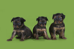 Puppies frolic on the green isolated background Royalty Free Stock Image
