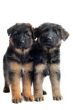 Puppies german shepherd Stock Images