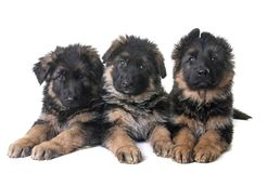 Puppies german shepherd. In front of white background Royalty Free Stock Photos