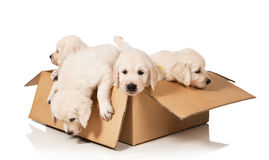 Puppies golden retriever royalty free stock images