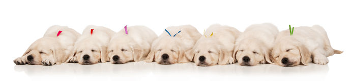 Puppies golden retriever Stock Images