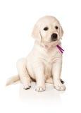 Puppies golden retriever Royalty Free Stock Photos