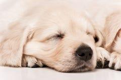 Puppies golden retriever Stock Photography
