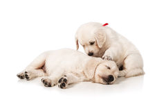 Puppies golden retriever. Portrait of the sleeping puppies golden retriever on a white background Royalty Free Stock Photos