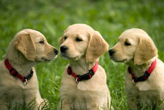 Puppies of golden retriever Stock Photography