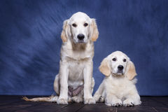 Puppies Golden Retriever. Two puppies Golden Retriever posing Stock Images