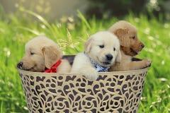 Puppies Golden Retriever dog stock image