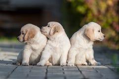 Puppies of Golden retriever Stock Image