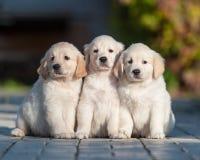Puppies of Golden retriever Stock Photography