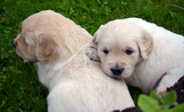 Puppies of Golden Retriever Royalty Free Stock Photography