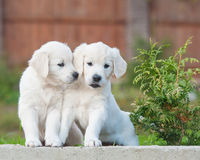 Puppies of Golden retriever Royalty Free Stock Image
