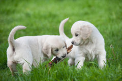 Puppies of Golden retriever Royalty Free Stock Images