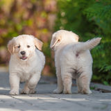 Puppies of Golden retriever Royalty Free Stock Photo