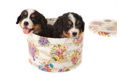 Puppies in hat box Stock Image