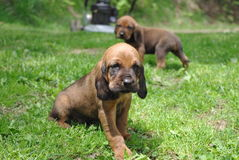 Puppies!. Hound puppies outside in the grass Stock Photo