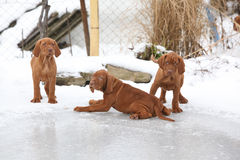 Puppies of Hungarian Pointing Dog on frozen lake Stock Photo