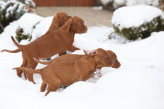 Puppies of Hungarian Pointing Dog in winter Royalty Free Stock Images