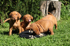 Puppies of Hungarian Short-haired Pointing Dog Stock Images