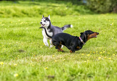 Puppies husky and taxes play on the grass. stock photography