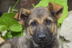 Puppies is intently looking into the lens. Little puppy sitting on the green grass Stock Images