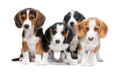 Puppies isolated on white. Four puppies isolated on white background. Westphalian Dachsbracke Stock Photos