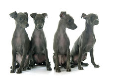 Puppies italian greyhound Stock Images