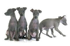 Puppies italian greyhound Royalty Free Stock Photo