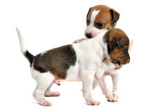 Puppies jack russel terrier Stock Images