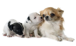 Puppies jack russel terrier and chihuahua Stock Photos