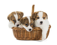 Puppies Jack Russell stock image