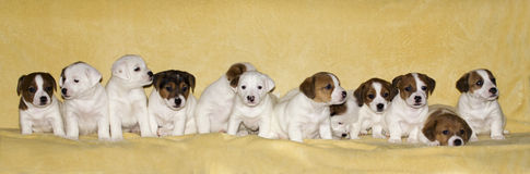 Puppies of jack russell terrier. Little puppies of jack russell terrier on beige background Royalty Free Stock Photography