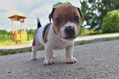 Puppies of Jack Russell terrier. Puppy of Jack Russell Terrier is playing in garden Stock Photography