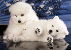 Puppies Japanese Spitz. White color stock images