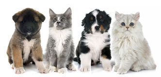 Puppies and kitten. In front of white background royalty free stock photos