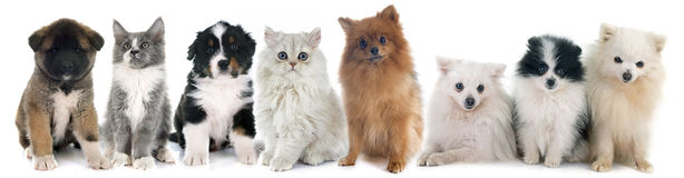 Puppies and kitten. In front of white background stock photos