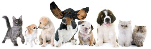 Puppies and kitten in studio. Puppies and kitten in front of white background Stock Image